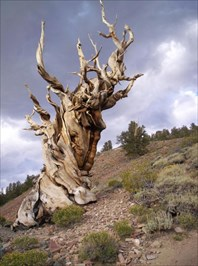 Ancient Methuselah Tree
